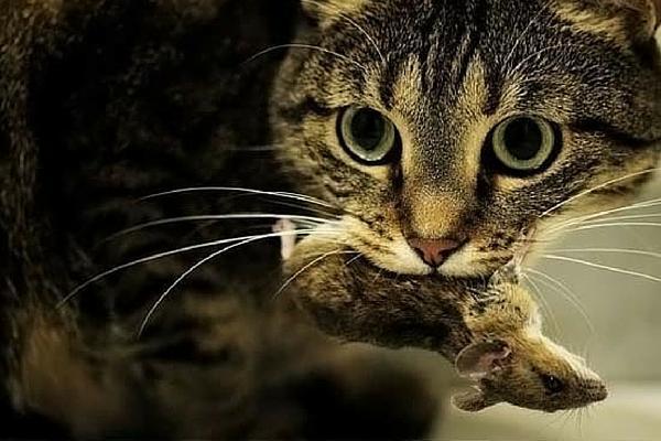 Кот-крысолов избавит птичник от крыс