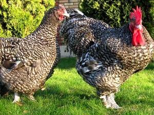 Петух и курица на прогулке