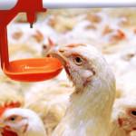 Курица пьет из поилки