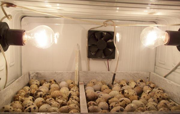 Инкубация перепелиных яиц в холодильнике