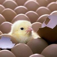 Цыпленок, вылупившийся в домашнем инкубаторе
