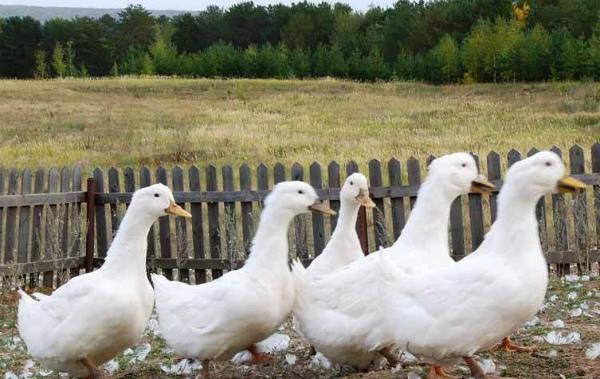 Выклевывая перья утки могут ранить друг друга