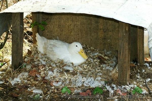 Почему утки выщипывают перья до крови друг у друга — Sam-Village