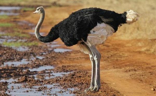 Черный африканский страус – фото
