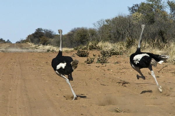Два страуса, бегущих наперегонки
