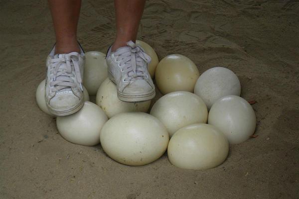 Демонстрация прочности яичной скорлупы страуса