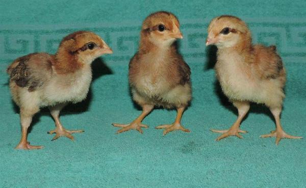 Молодняк вельзумерских кур