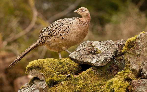 Курочка фазана обыкновенного на камне