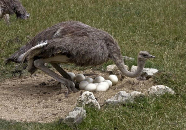 Страусиха, высиживающая яйца