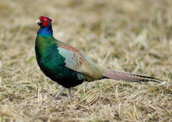 Японский зеленый фазан - фото