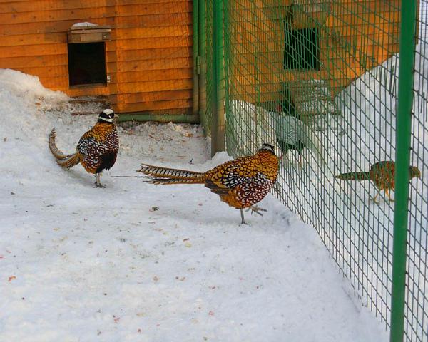 Декоративные фазаны на ферме зимой