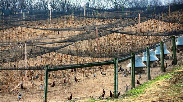 Крупная фазанья ферма по разведению охотничьих пород