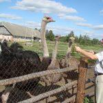 Владелец страусиной фермы с питомцами