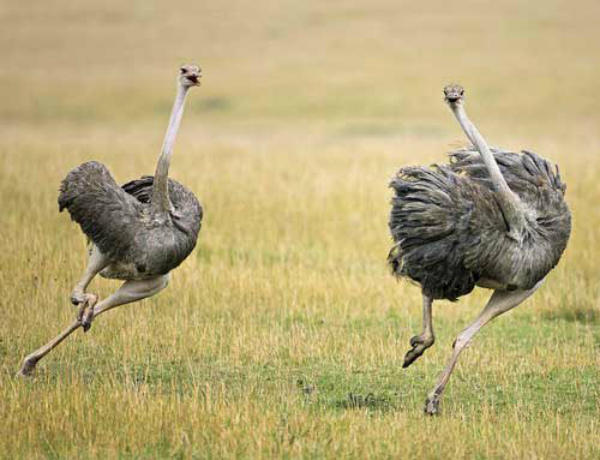 Два страуса убегают от опасности