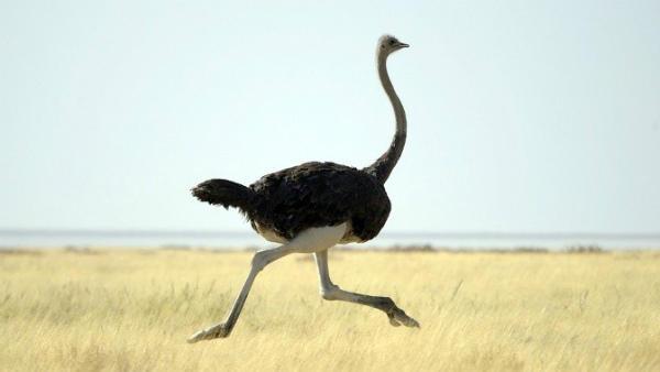 Бег африканского страуса в саванне