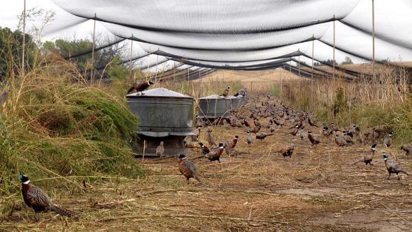 Пример обустройства фазаньей фермы