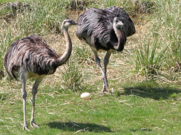 Пара американских страусов с яйцом