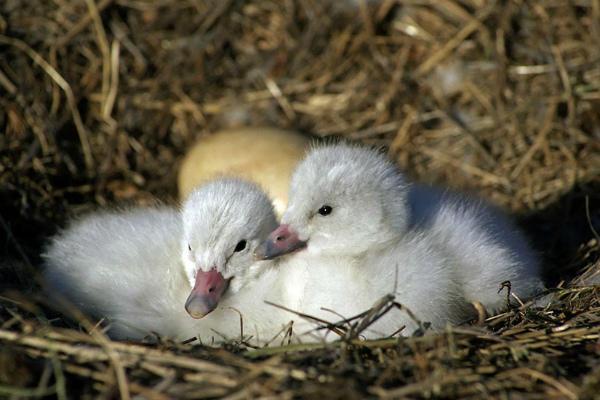 Фото птенцов малого лебедя в гнезде