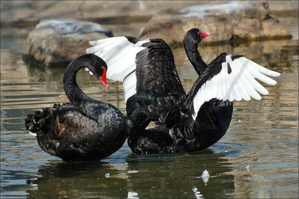 Черный лебедь демонстрирует свой необычный окрас