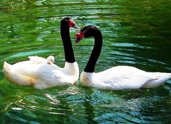 Пара черношейных лебедей на воде