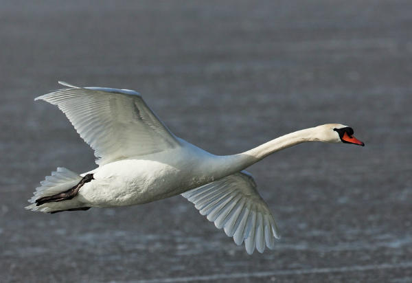 Лебедь-шипун, летящий в небе