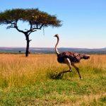 Страус бежит по просторам Кении