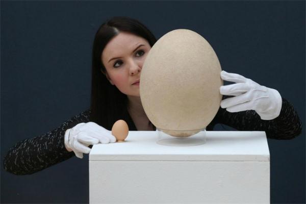 Размер страусиного яйца в сравнении с куриным