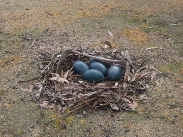 Гнездо Эму со свежей кладкой