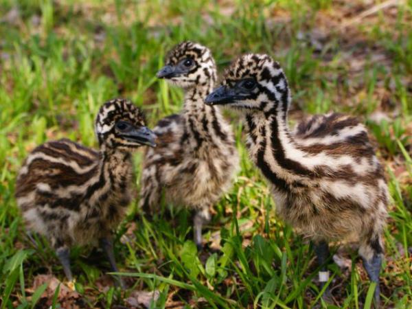 Фотография птенцов страуса Эму