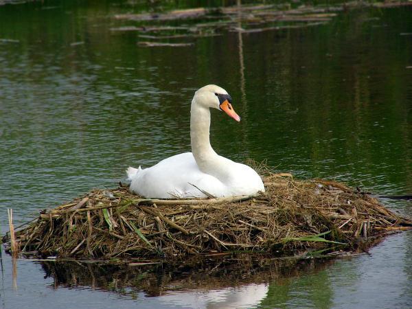 Обустроенное гнездо лебедя-шипуна