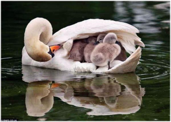 Лебедка шипуна проявляет родительскую заботу