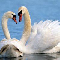 Танцующая на воде пара лебедей-шипунов
