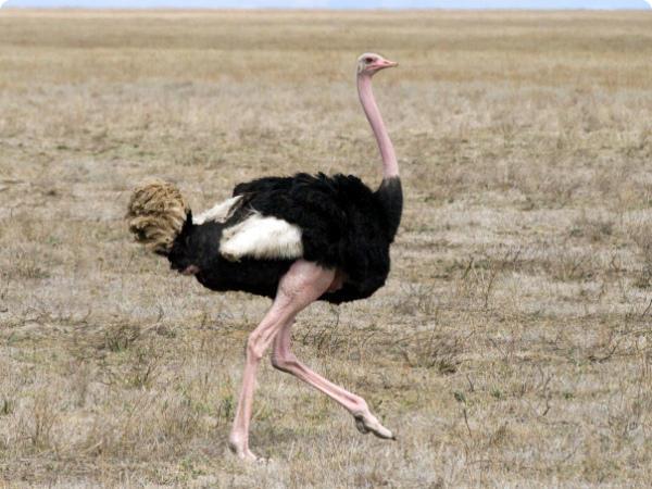 Взрослый самец африканского страуса