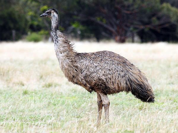 Австралийский представитель страусов – эму