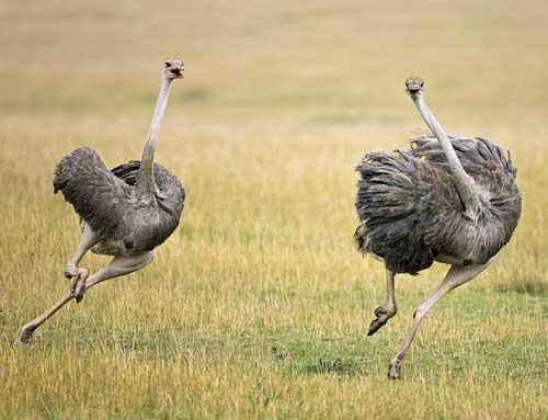 Бегущий страус по саванне