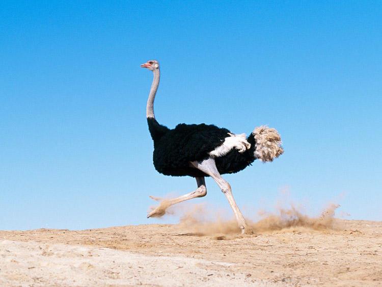 Фото бегущего страуса