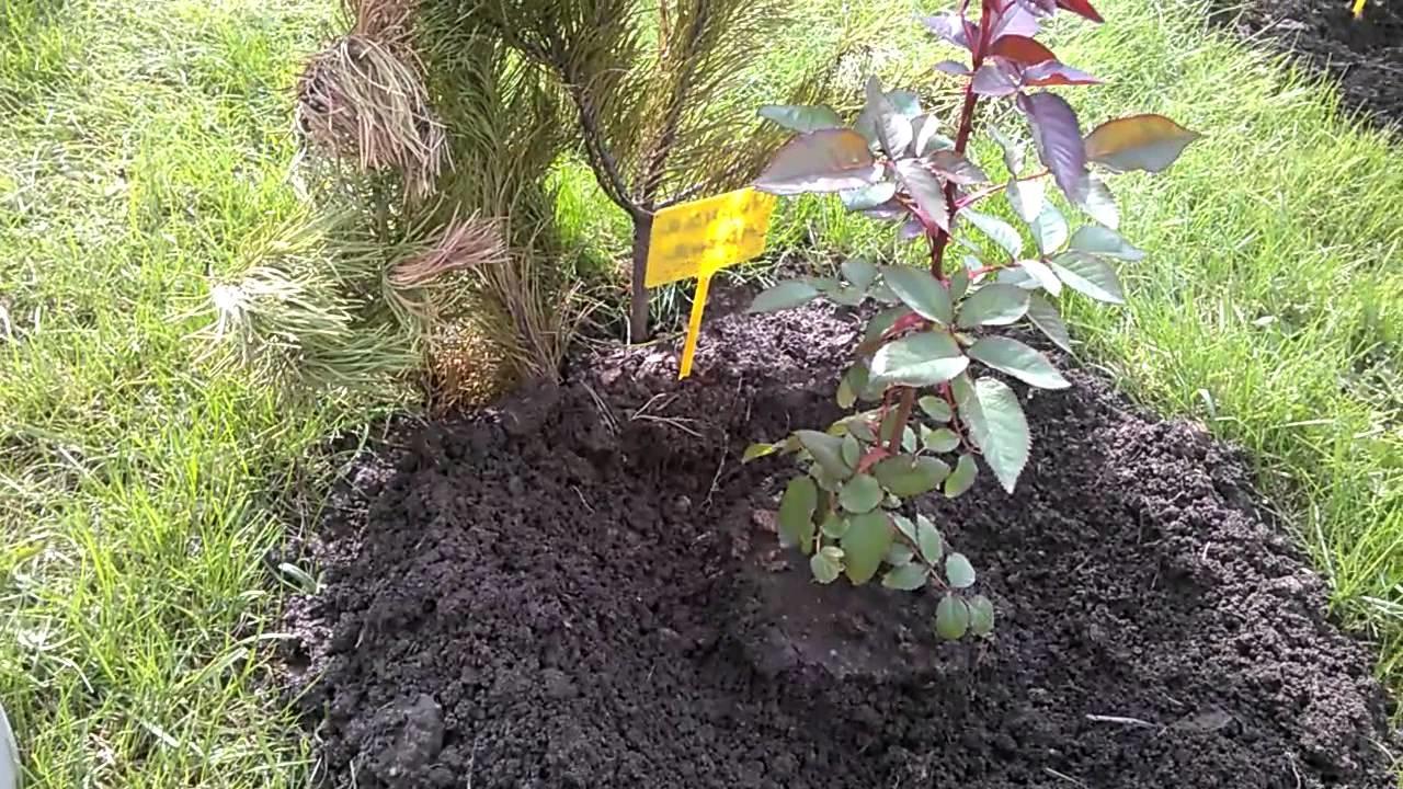 Удобрение высаженного дерева пометом