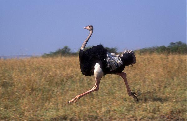 Африканский страус – самый большой пернатый в мире
