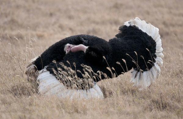 Перьями страусы покрыты неплотно