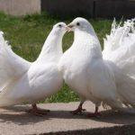 Невероятные голуби породы Павлин