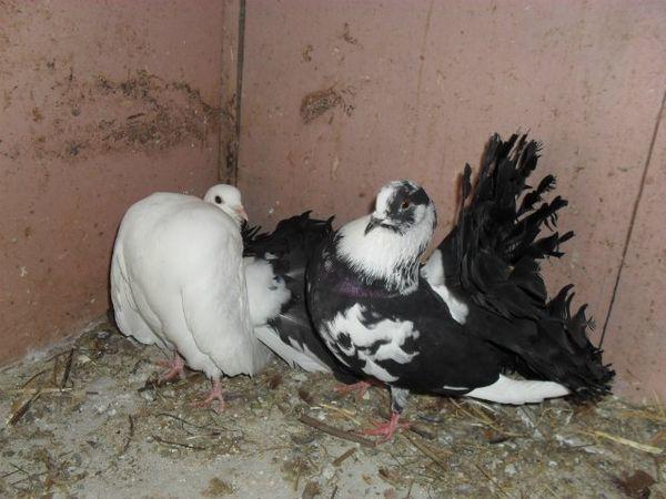Голуби Павлин считаются крайне плодовитыми