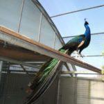 Птица павлин относится к отряду курообразных