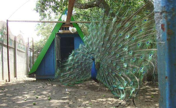 Павлин - самая красивая птица в мире