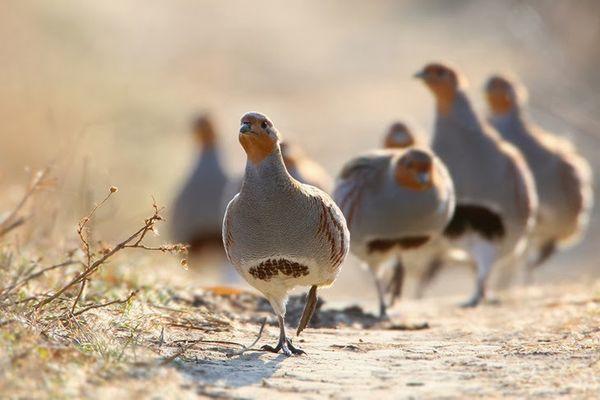 В дикой природе птица живет на открытых пространствах