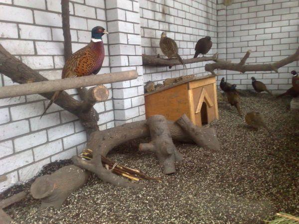 Содержание фазанов в вольере