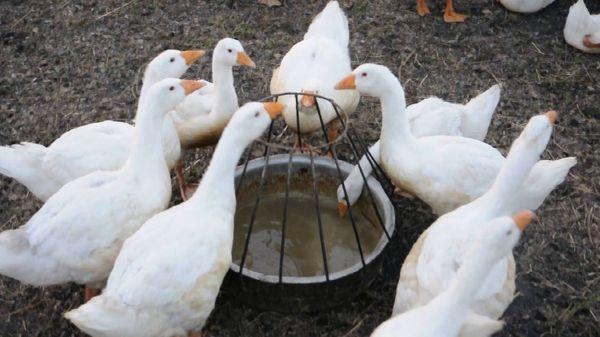 Поилки для гусей своими руками: описание, как сделать