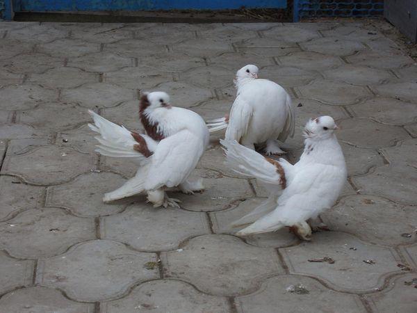 Популярный вид голубей - статные