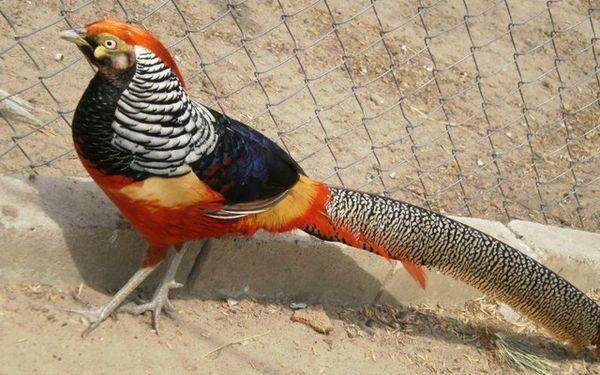 Алмазный фазан, он же фазан леди Амхерст