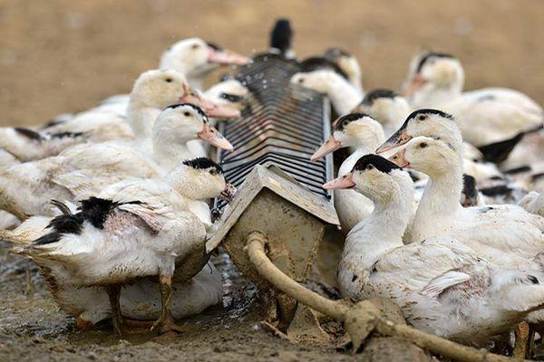 Утки – птицы пугливые, поэтому пугать и беспокоить их нельзя