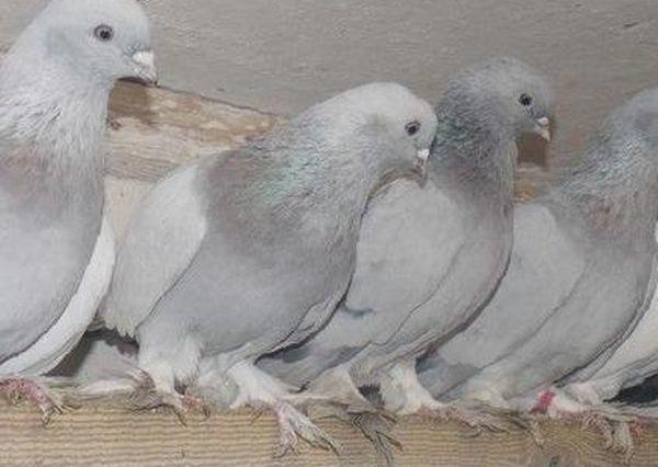 Внешне Касаны – удивительные голуби